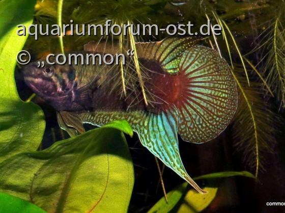 Rundschwanzmakropode, Macropodus ocellatus, Male