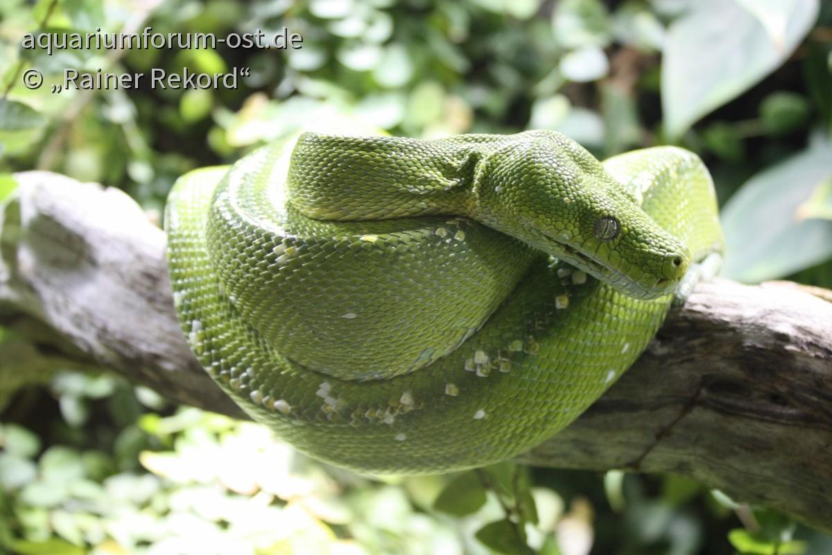 Grüne Schlange, wahrscheinlich Grüner Baumpython