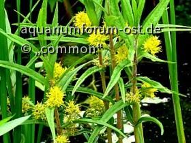 Straussgoldfelberich, Lysimachia thyrsiflora