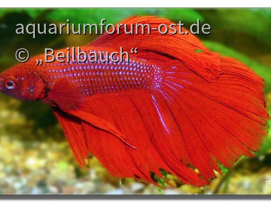 Betta splendens Halfmoon red