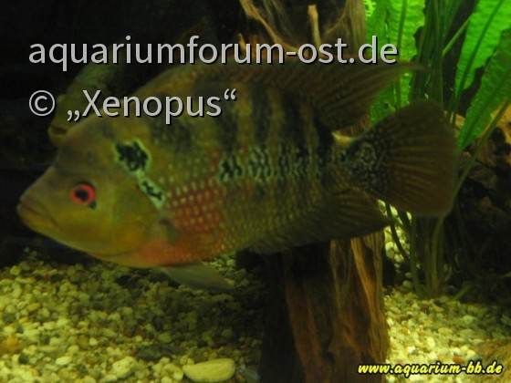 Flowerhorn (Cichlasoma spec.)