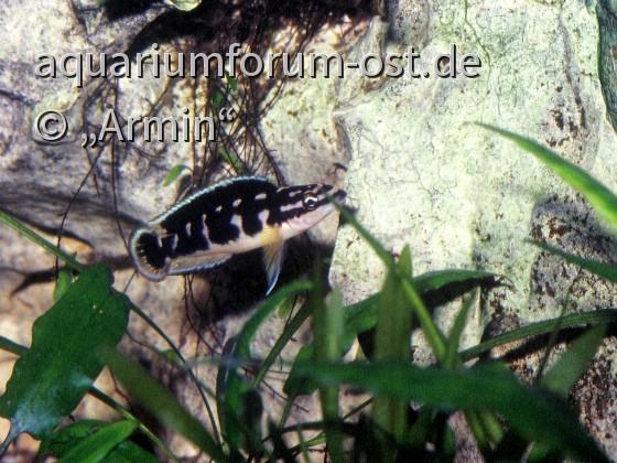 "Julidochromis transcriptus ""Pemba"""