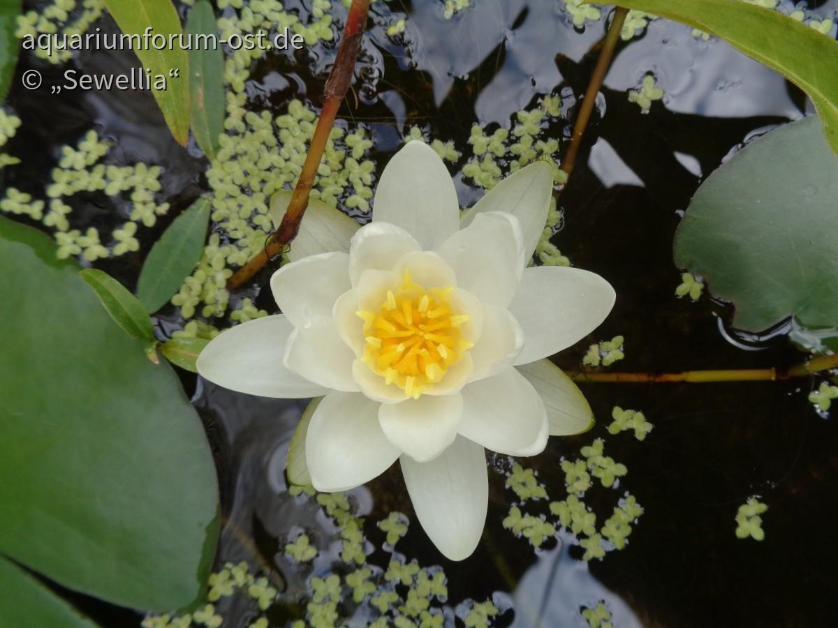 Weiße Seerose blüht sogar in einem nur 30 cm hohen Mörtelkübel