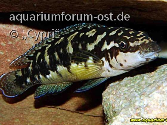 Julidochromis transcriptus-Weibchen.JPG