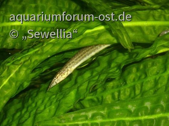 Macrognathus pancalus zwischen Cryptocoryne aponogetifolia