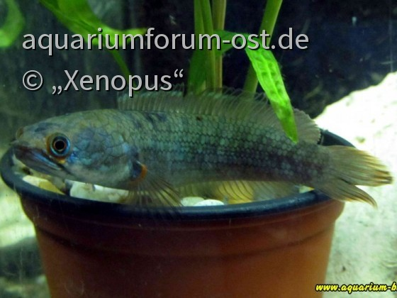 "Channa sp. ""Inle"""