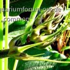 Blütenstand im Aufbruch:-Echinodorus RedRock