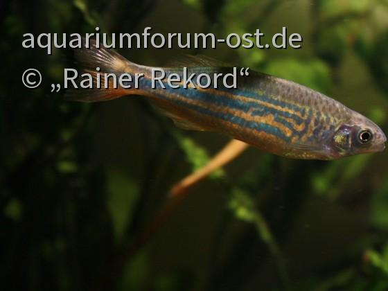 Malabar Bärbling - Devario aequipinnatus