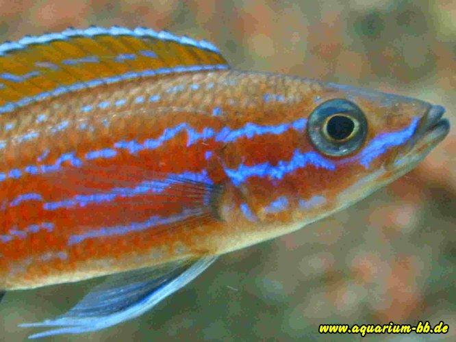 Paracyprichromis-nigripinnis-Blue-Neon.JPG