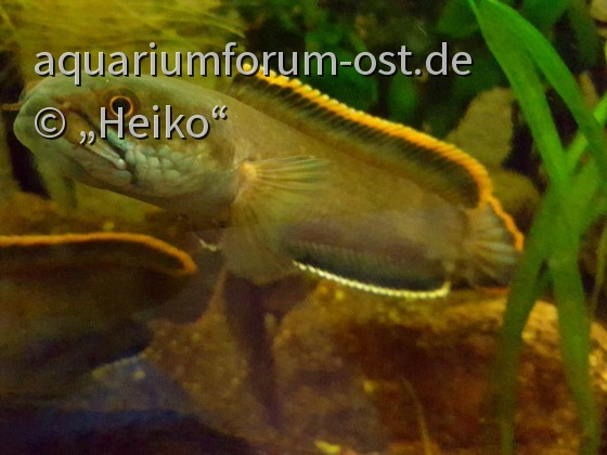 Channa spec Laos fireback