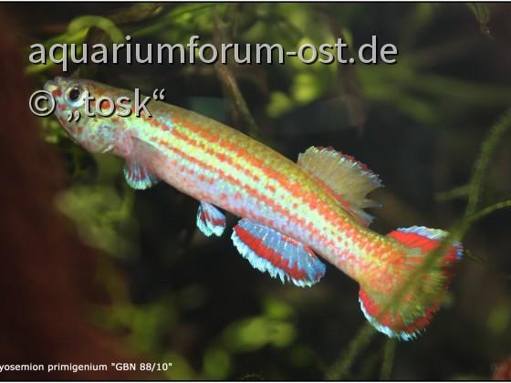 """Aphyosemion spec. aff. primigenium """"GBN 88/10"""""""