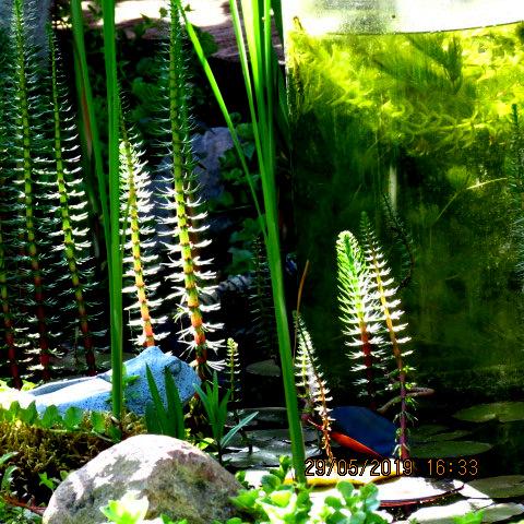 Tannenwedel- attraktive Pflanze für den Gartenteich
