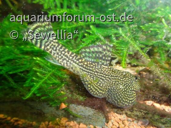 Perllinien-Prachtflossensauger (Sewellia sp. spotted)