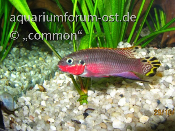 Smaragdbuntbarsch Nigeria red, male