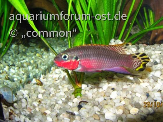Smaragdbuntbarsch Nigeria red, male