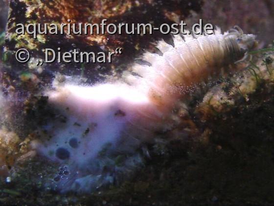Vielborster - Polychaeta