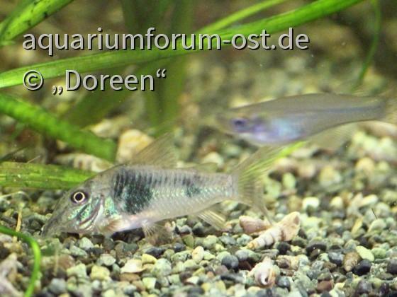 Corydoras septentrionalis (Nördlicher Langschnauzen-Panzerwels)