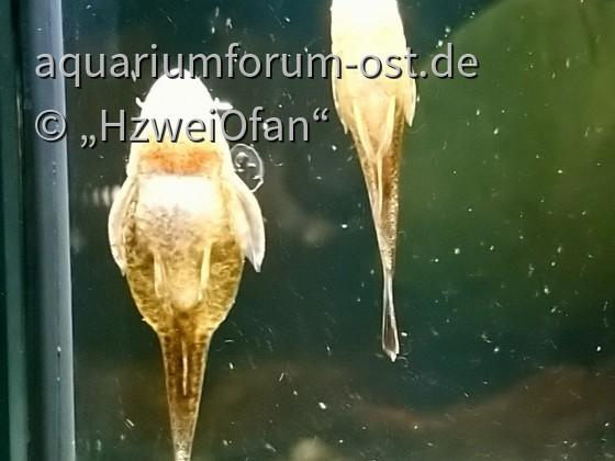 Otothyropsis piribebuy knistern unter Wasser