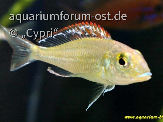 "Callochromis pleurospilus ""Bulu Point"""