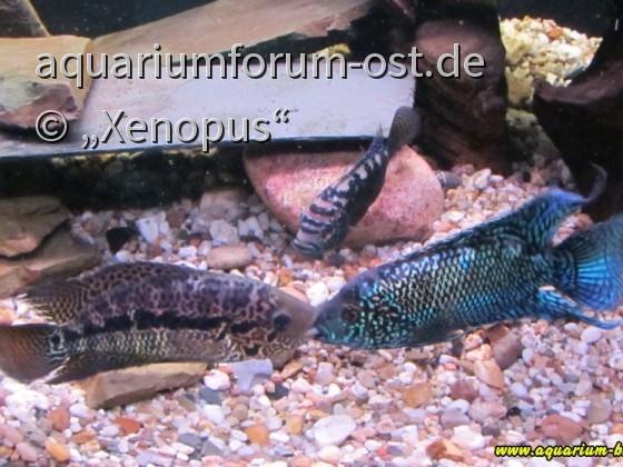Blue Jack Dempsey gegen Parachromis loisellei