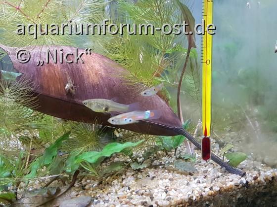 Poecilia reticulata Tianmou