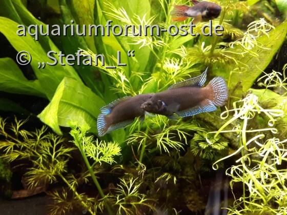 """Macropodus ocellatus """"Hongkong Neon"""" Aquarium 2018-03-18"""