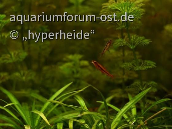 Zwergschmerlen, Yunnanilus sp. rosy, Männchen