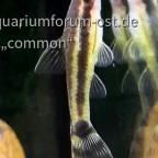 Macrotocinclus affinis -  Gestreifter Ohrgitter-Harnischwels