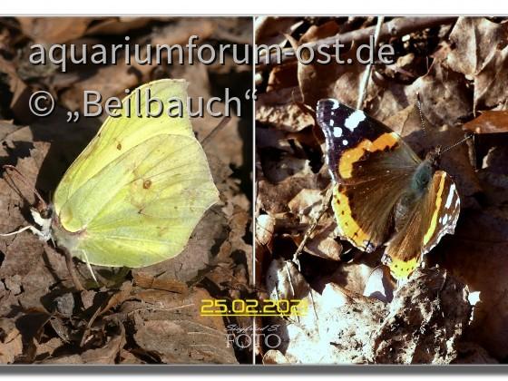 Das glaubt einem doch keiner - Schmetterlinge im Februar - heute fotografiert!