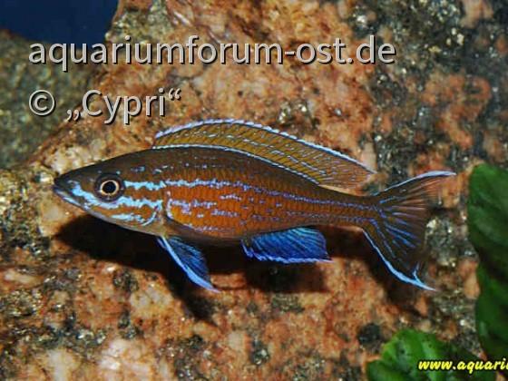 """Paracyprichromis nigripinnis """"Blue Neon"""" Männchen"""