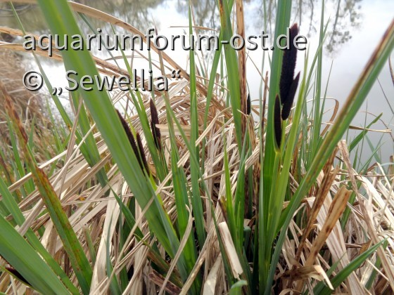 Braune Segge, Wiesensegge (Carex nigra) Habitat