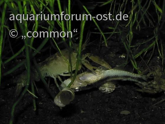 Cambarellus montezumae, Montezuma-Zwergflusskrebs