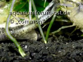 Cambarellus montezumae