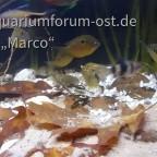 Indischer Buntbarsch etroplus maculatus