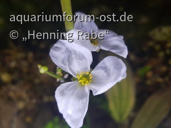 Echinodorus 'Ozeltot Green' Blüte