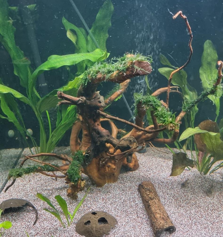 neue Wurzel mit Vesicularia reticulata von Andy
