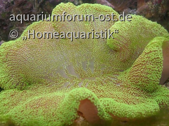 Stichodactyla haddoni - Teppichanemone