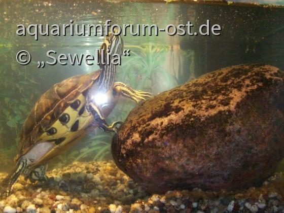 Gelbwangenschmuckschildkröte (Hybrid)