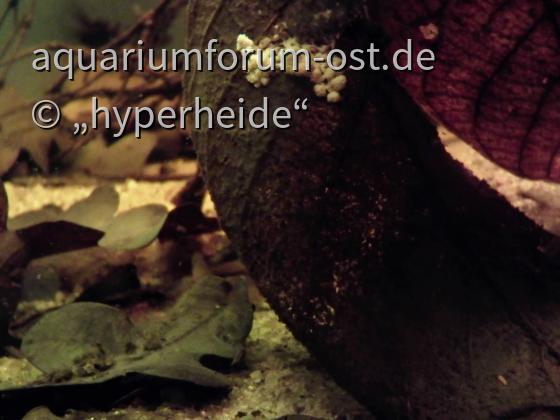 Schleimpilz in meinem Schwarzwasserbecken