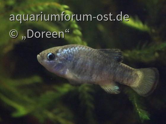 Cyprinodon macularius - Wüstenkärpfling (Männchen)