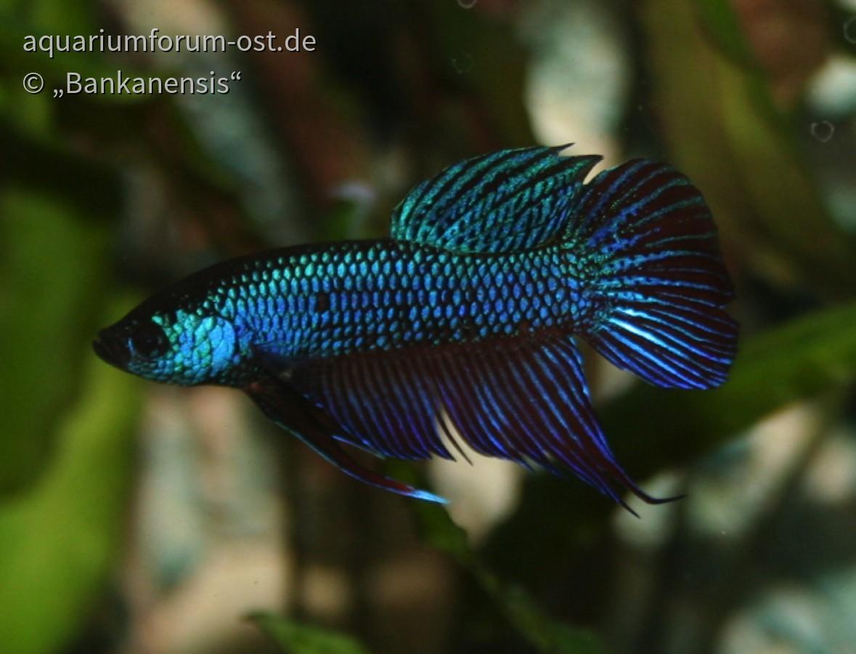 Smaragdkampffisch