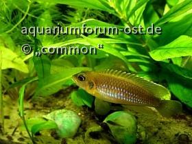Neolamprologus ocellatus; Augenfleckschneckenbuntbarsch