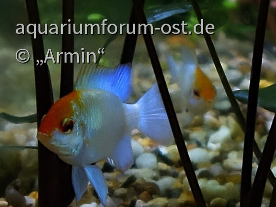 "Microgeophagus ramirezi "" Blue Punk """