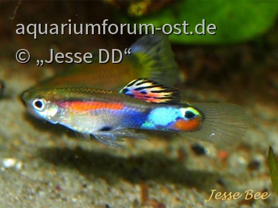 Wildguppymix Japanblau x Speyside, JB defizient mit MBEG