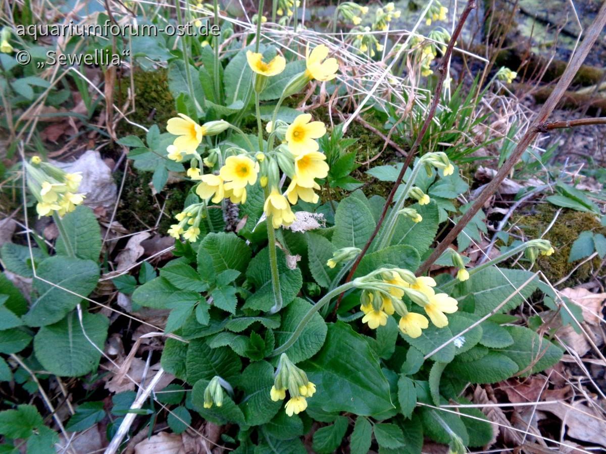 Hohe Schlüsselblume auch Waldprimel (Primula elatior)