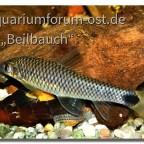 Pinselalgenfresser, (Crossocheilus reticulatus)