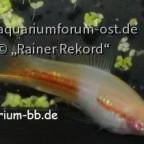 Xiphophorus hellerii Gelber Schecke