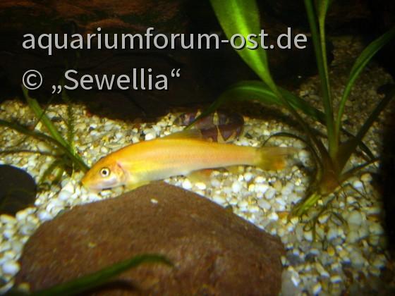 Gyrinocheilus aymonieri var. Gold und Pangio kuhlii sumatranus