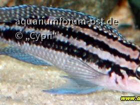 Julidochromis dickfeldi Männchen