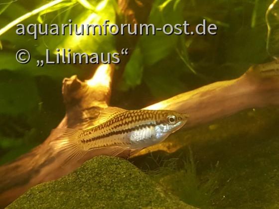 Xiphophorus pygmaeus Weibchen